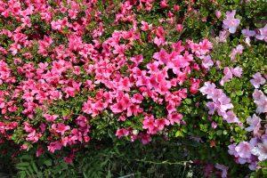 中庭の皐月がキレイに咲きました。